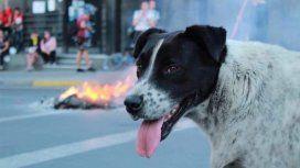 Manifestantes crearon una marcha falsa para llevar a un perro herido al veterinario