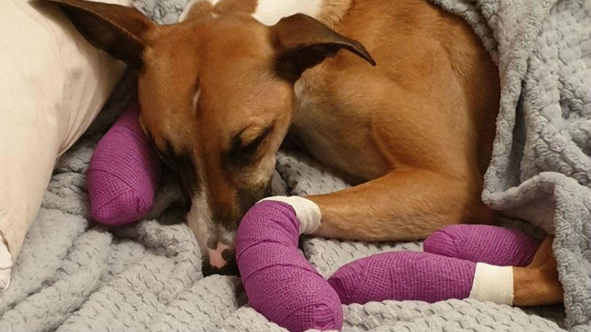 Una perra se escapó de su casa por miedo a los fuegos artificiales y se le quemaron las patas de tanto correr