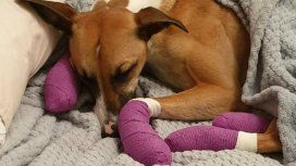 Una perra se escapó por miedo a la pirotecnia: se le quemaron las patas de tanto correr