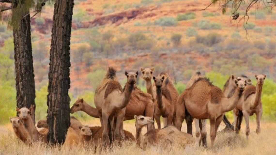 Sacrificarán a 10.000 camellos en Australia por la sequía