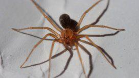Internaron en terapia intensiva a una nena de 3 años por la picadura de la araña de rincón
