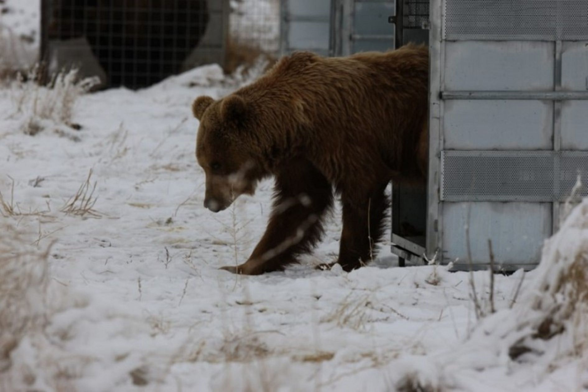 VIDEO: La emotiva liberación de diez osos que estaban en el ex zoológico de Mendoza