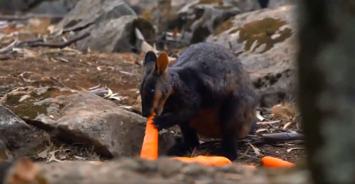 Tiran toneladas de verduras desde helicópteros para alimentar a los animales afectados por los incendios en Australia
