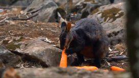 Lanzan toneladas de verduras para alimentar a los animales afectados por los incendios