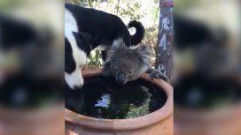 Conmovedor video en medio de los incendios en Australia: un perro y un koala comparten el agua