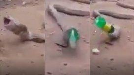 Una cobra vomitó una botella de plástico entera