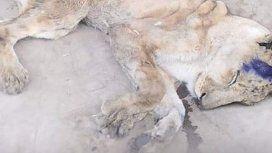 Tristeza: murió una de las leonas desnutridas en un zoológico de Sudán