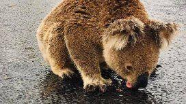 La historia detrás del koala sediento que tomaba agua del asfalto tras la lluvia