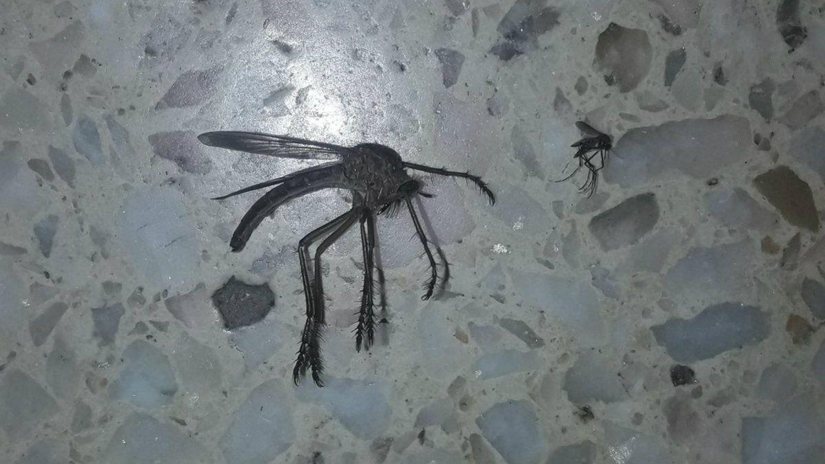 El extraño y gigante mosquito que es viral en Córdoba