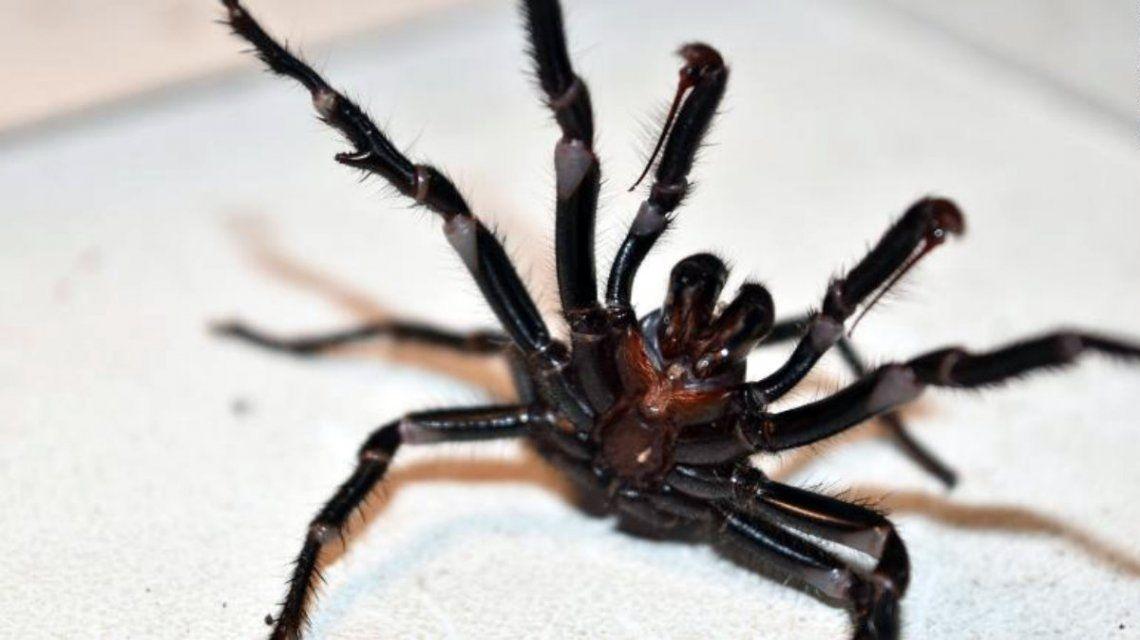 La tercera plaga de Australia: después de los incendios y las inundaciones llegaron las arañas