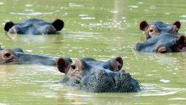 Peligran los ecosistemas de Colombia por los 80 hipopótamos que dejó Pablo Escobar