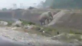 VIDEO: Un elefante sorprendió al subir una pendiente desde una escalera