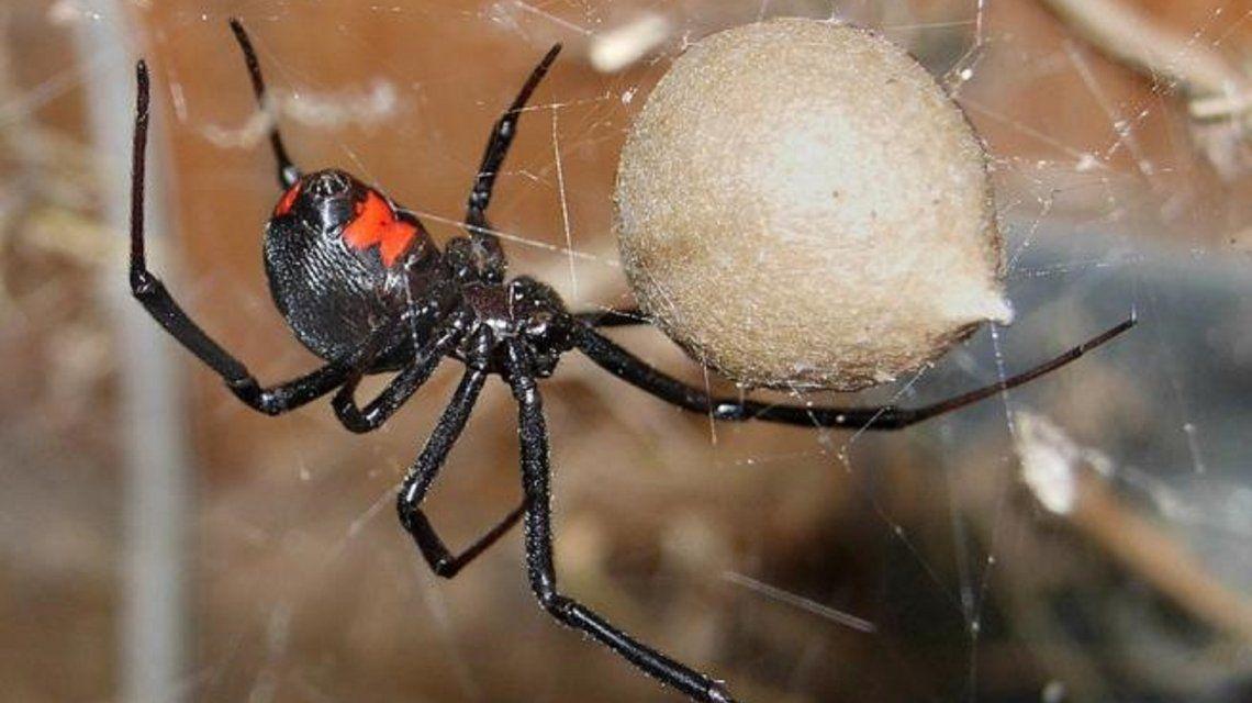 Los niños se dejaron picar por una araña viuda negra para tener superpoderes