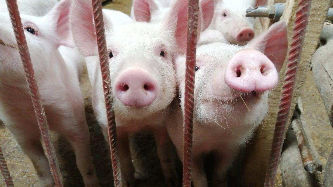 Alerta en Brasil por una nueva gripe porcina que podría convertirse en pandemia