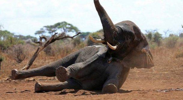 Unos 300 de elefantes murieron en Botsuana en las últimas semanas