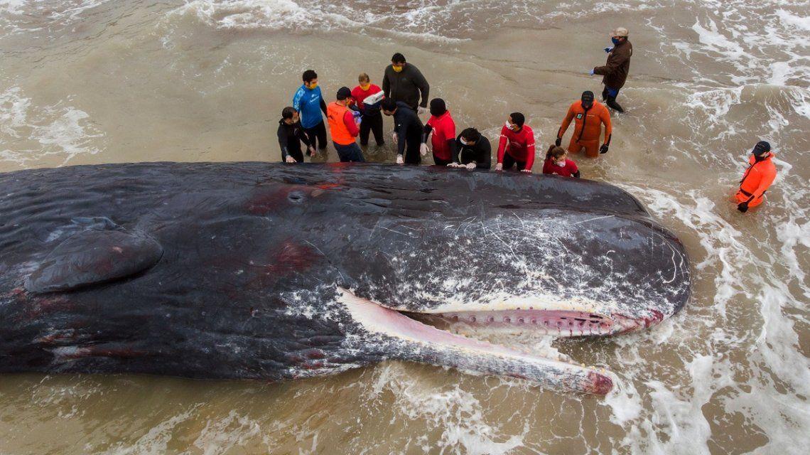 Un cachalote murió tras quedar varado en una playa de Santa Clara del Mar