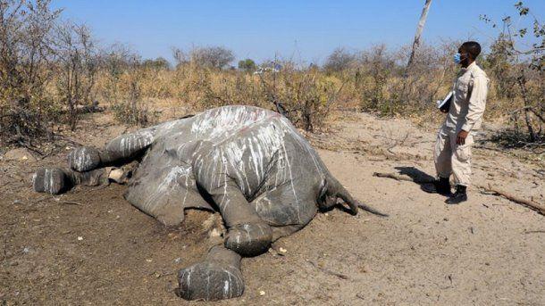 Más de 300 elefantes aparecieron muertos en Botsuana en misteriosas circunstancias. Foto: Reuters.
