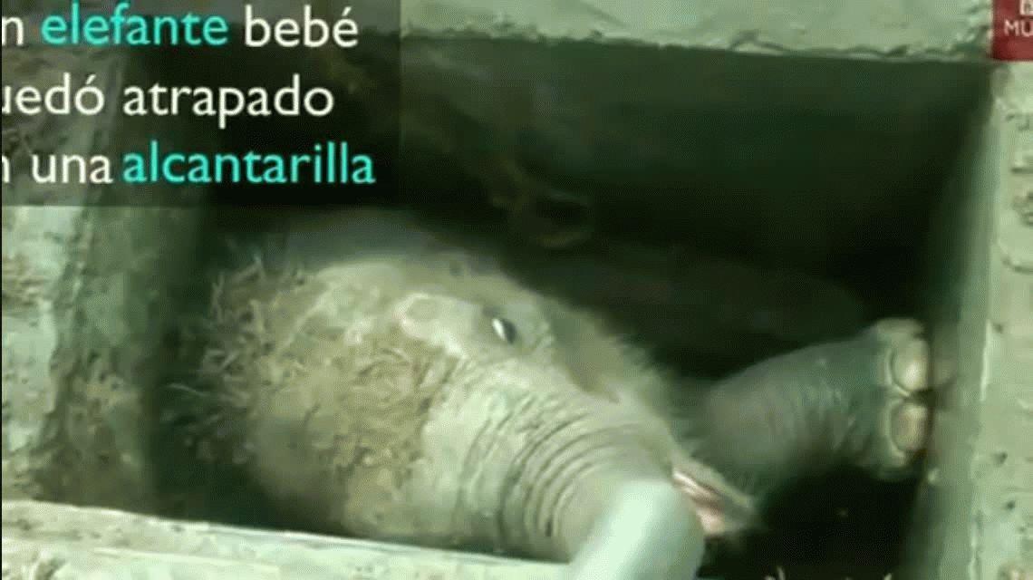 VIDEO: Así liberaron a un elefante bebé atrapado en una alcantarilla