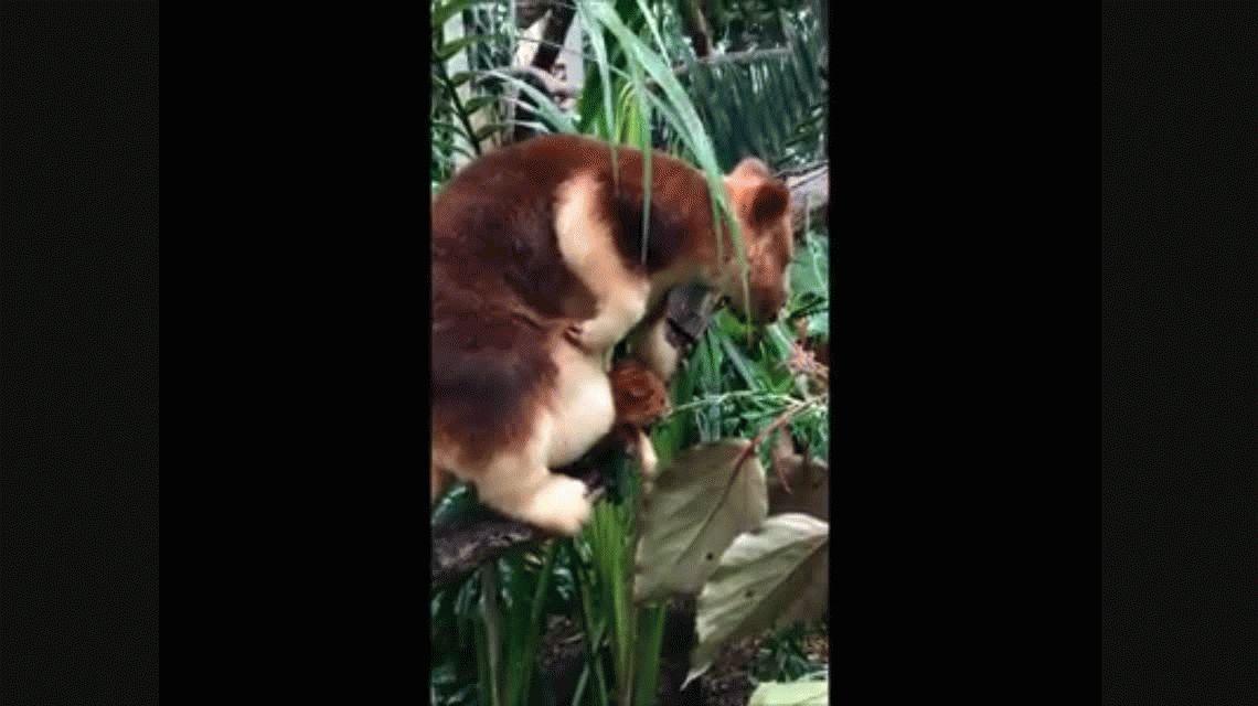 Una cría de canguro se asomó al mundo y revolucionó un zoo de Australia