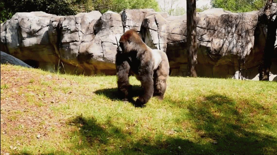 Murió un gorila cuando lo sedaron para trasladarlo de un zoológico a otro