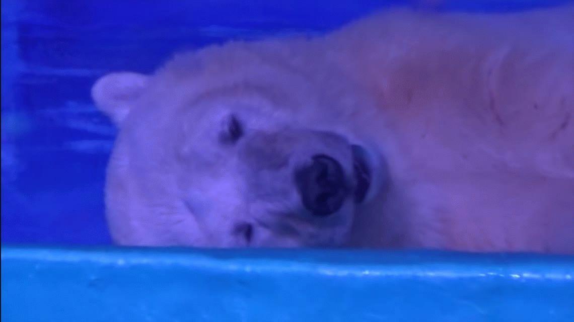 VIDEO: La tristeza de un oso polar que vive encerrado en un shopping chino