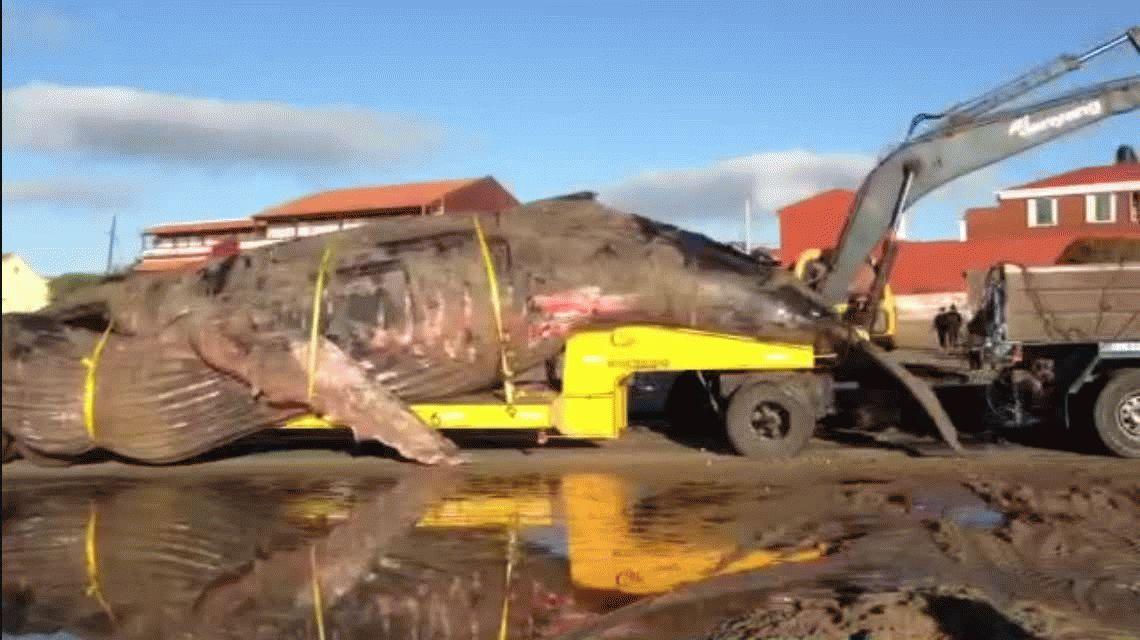 Inmensa tristeza: así trasladaron a la ballena que murió en Mar del Tuyú