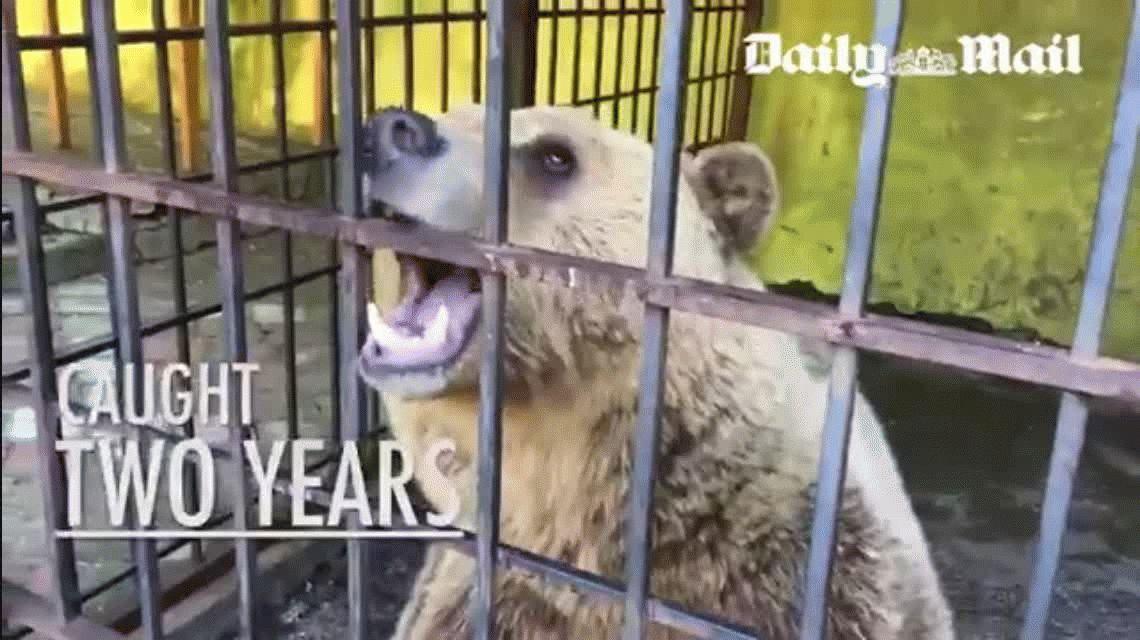 Crueldad en el menú: un oso cautivo en un restaurante se come a sí mismo