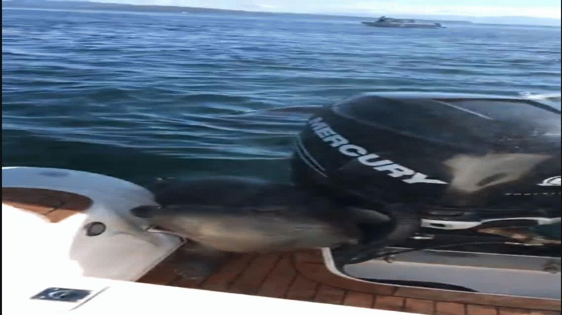Una foca se salvó de ser comida por una orca al subirse a un barco