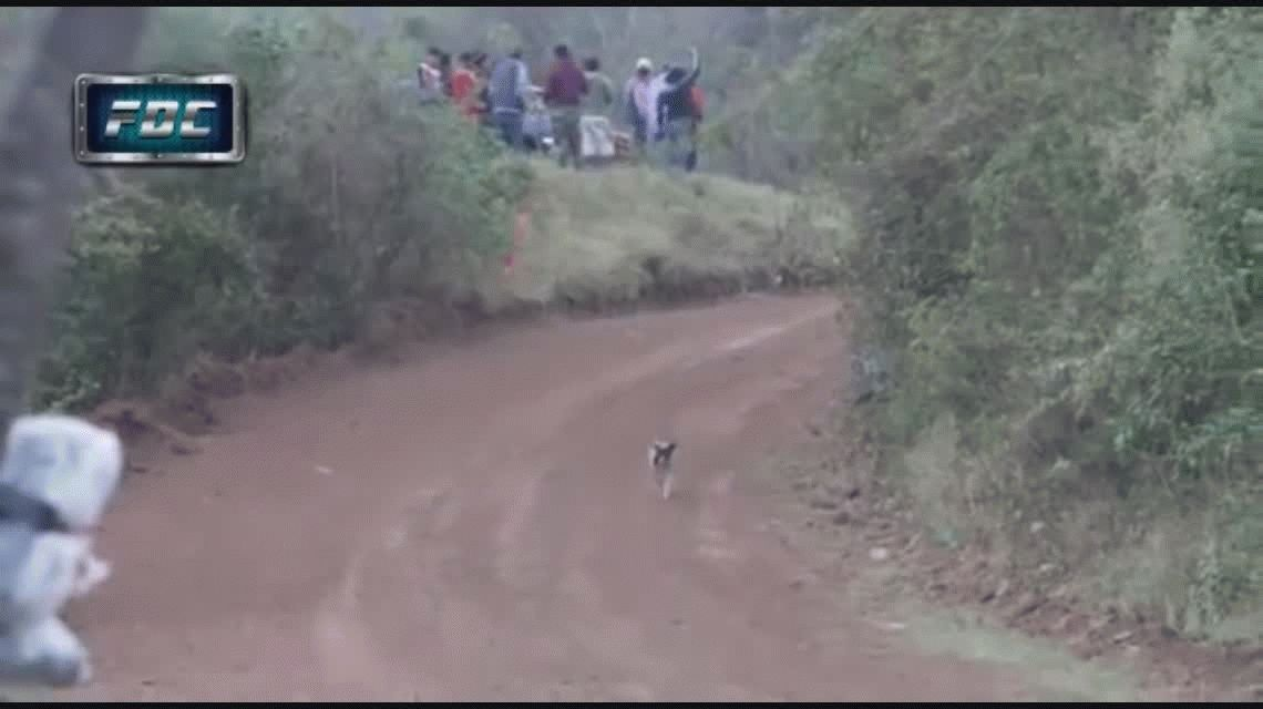 VIDEO: Un perro se salva de ser pisado por un auto en plena prueba de rally