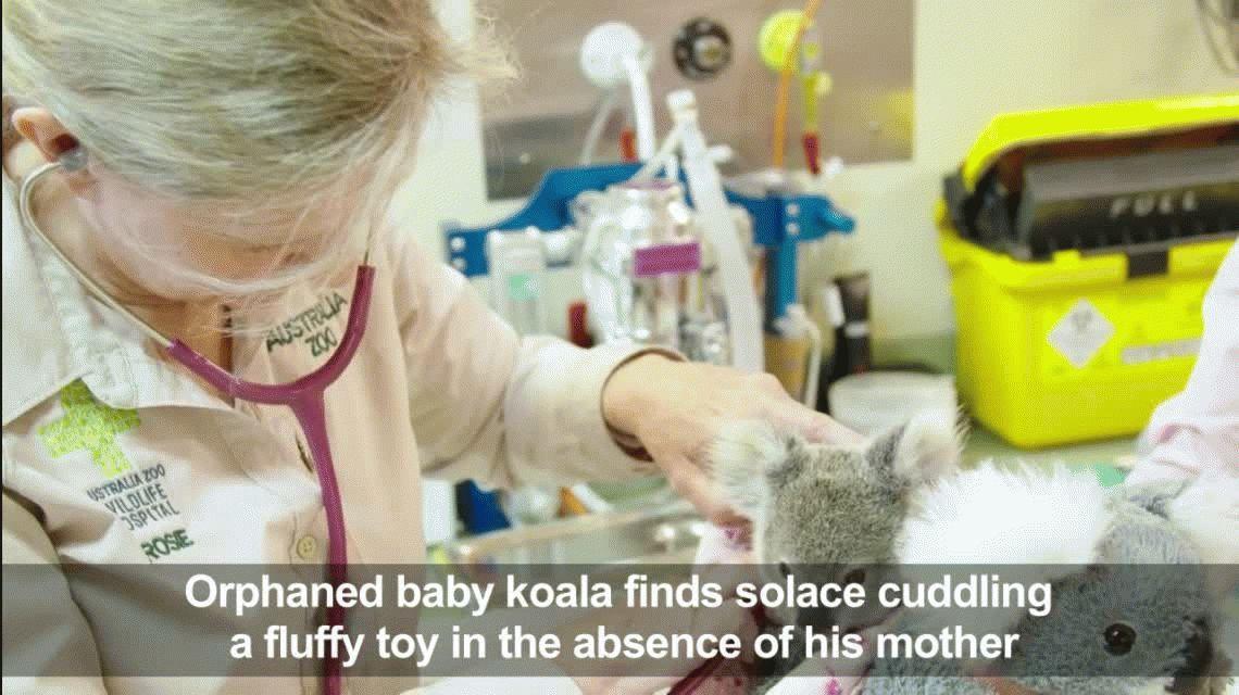 Un koala bebé perdió a su mamá, pero lograron consolarlo con un peluche