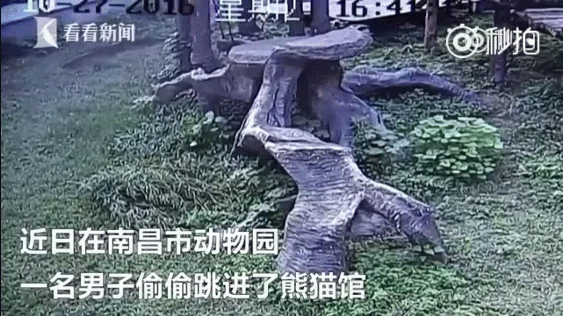 VIDEO: Se metió en la jaula del panda para impresionar a una chica y el oso le dio una paliza