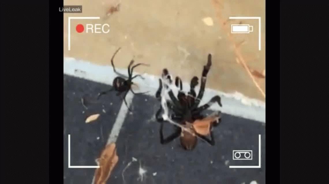 VIDEO: Dos de las arañas más peligrosas del mundo, en una pelea a muerte