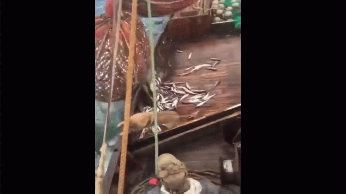 Los pescadores se sorprendieron al ver al elefante marino dentro de la red
