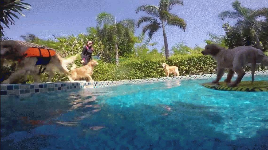 Dos Golden Retrievers salvan a un cachorro