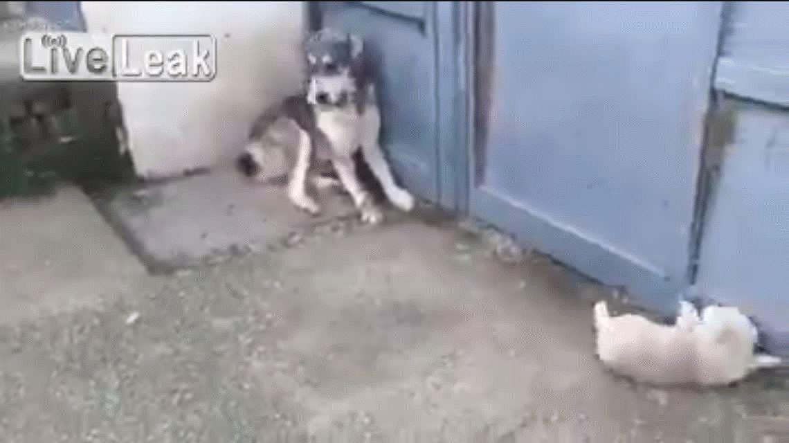 La mamá de los cachorros no dudó en atacar al perro que les ladró