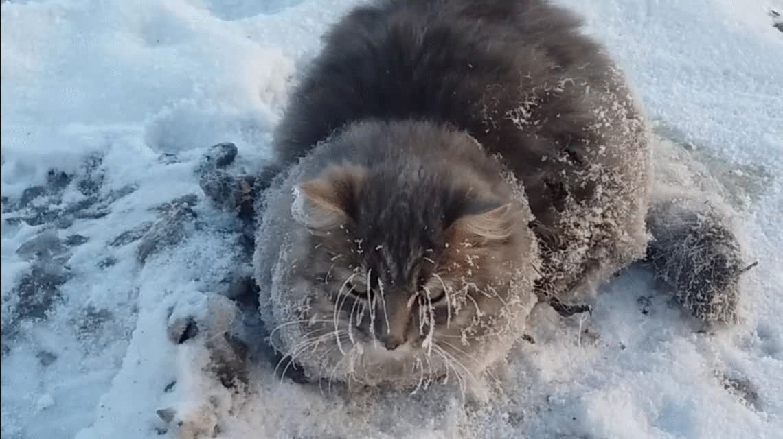 Conmovedor rescate de gato que se había quedado pegado en el hielo