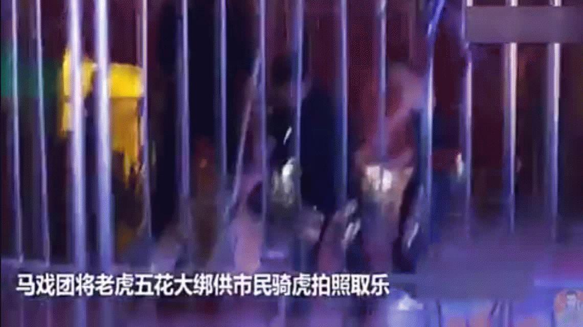 Ataron brutalmente a un tigre para que los visitantes se sienten en él y se saquen fotos