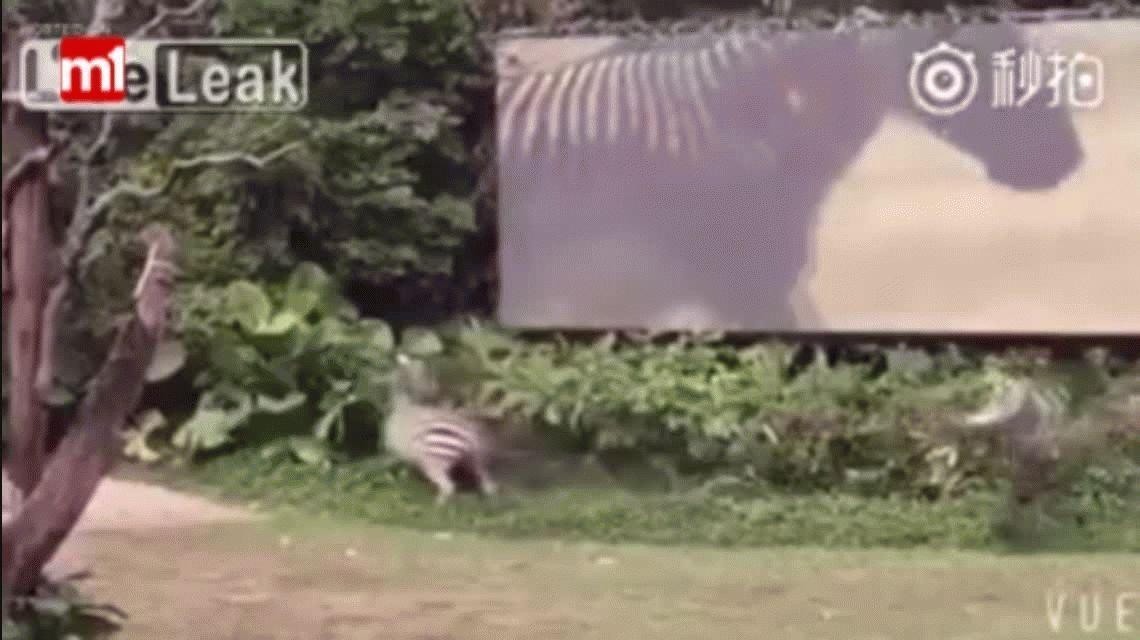 VIDEO: Una cebra ataca de manera brutal a un cuidador
