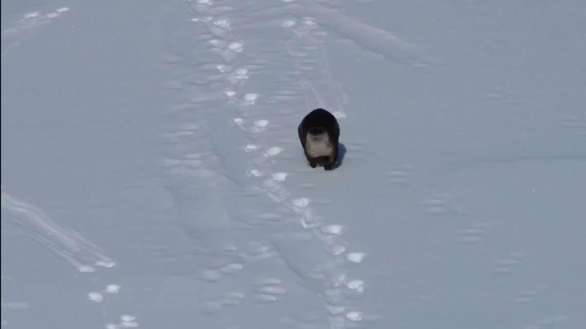 VIDEO: La nutria más feliz del mundo se divierte deslizándose en la nieve