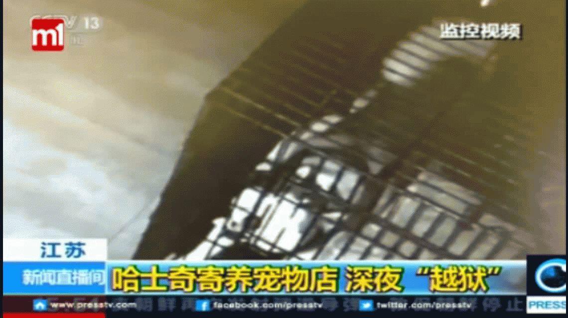 VIDEO: Un perro se escapa de su jaula y libera a sus amigos