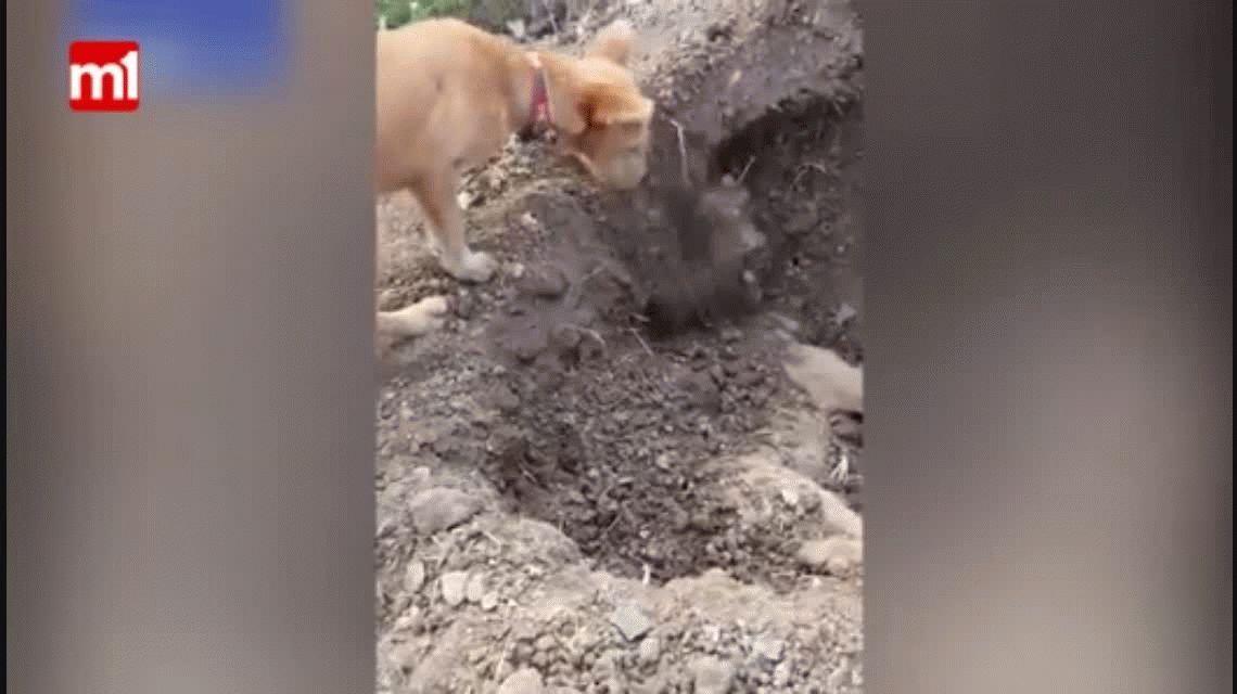 Un perro entierra a su amigo que murió atropellado por un auto