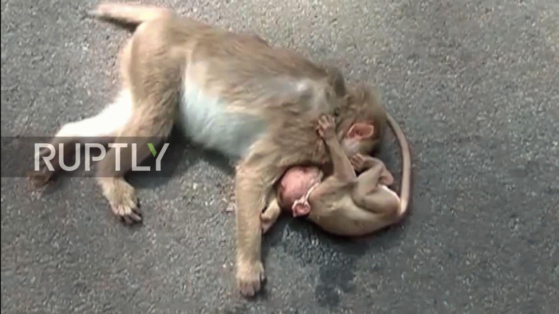 El video más triste: una cría de mono llora por la muerte de su madre