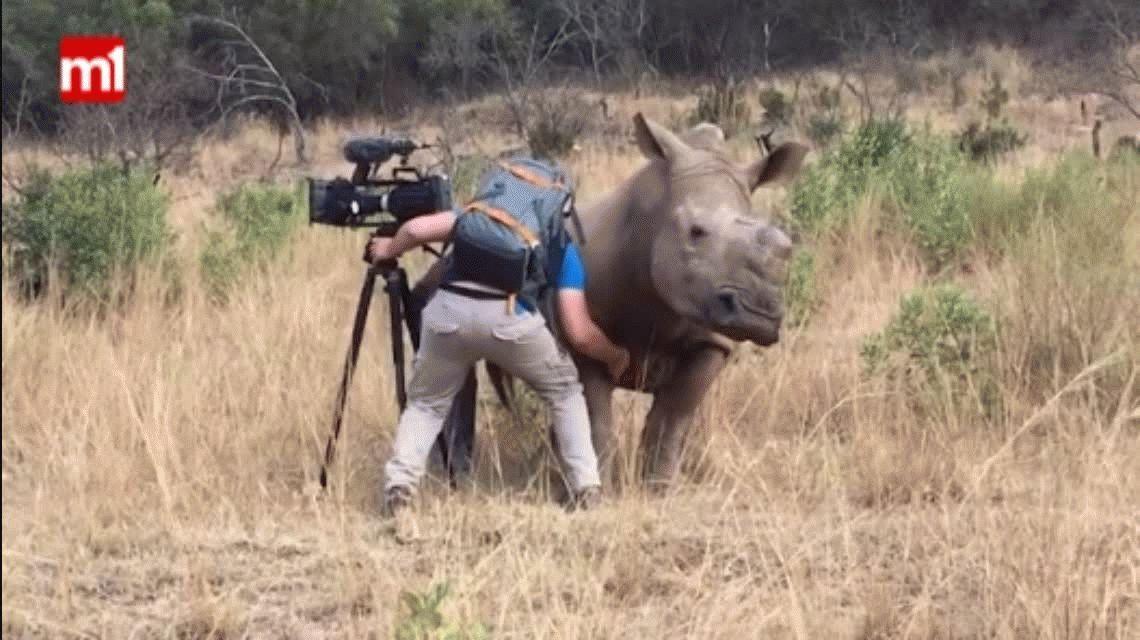 VIDEO: Rinoceronte se acerca a un camarógrafo porque quería que le acaricie la panza