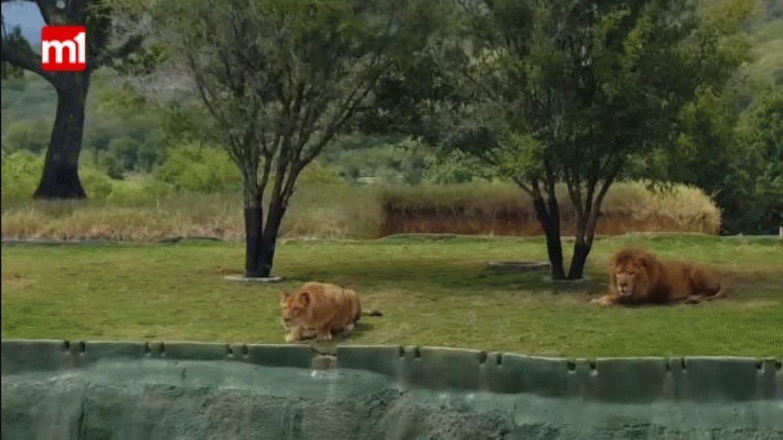 VIDEO: Una leona intenta atacar al público en un zoo pero sufre un accidente