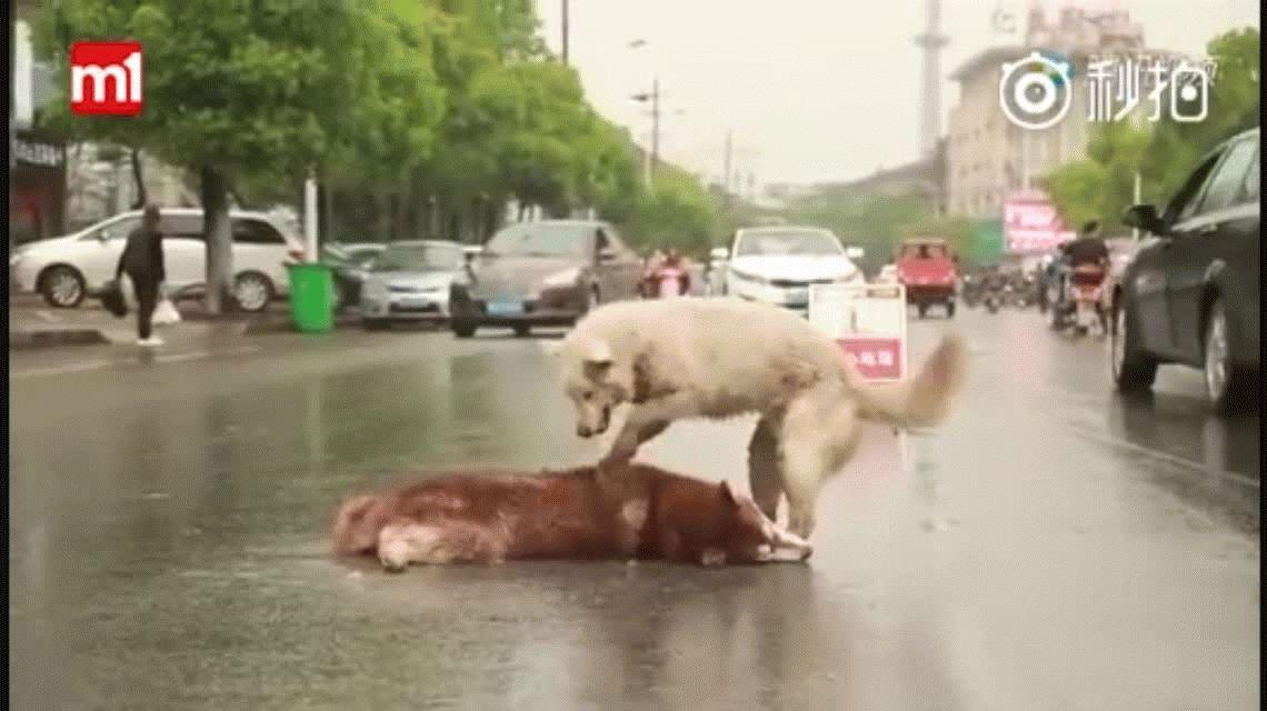 VIDEO: Un perro se niega a dejar a su amigo que murió atropellado en la calle