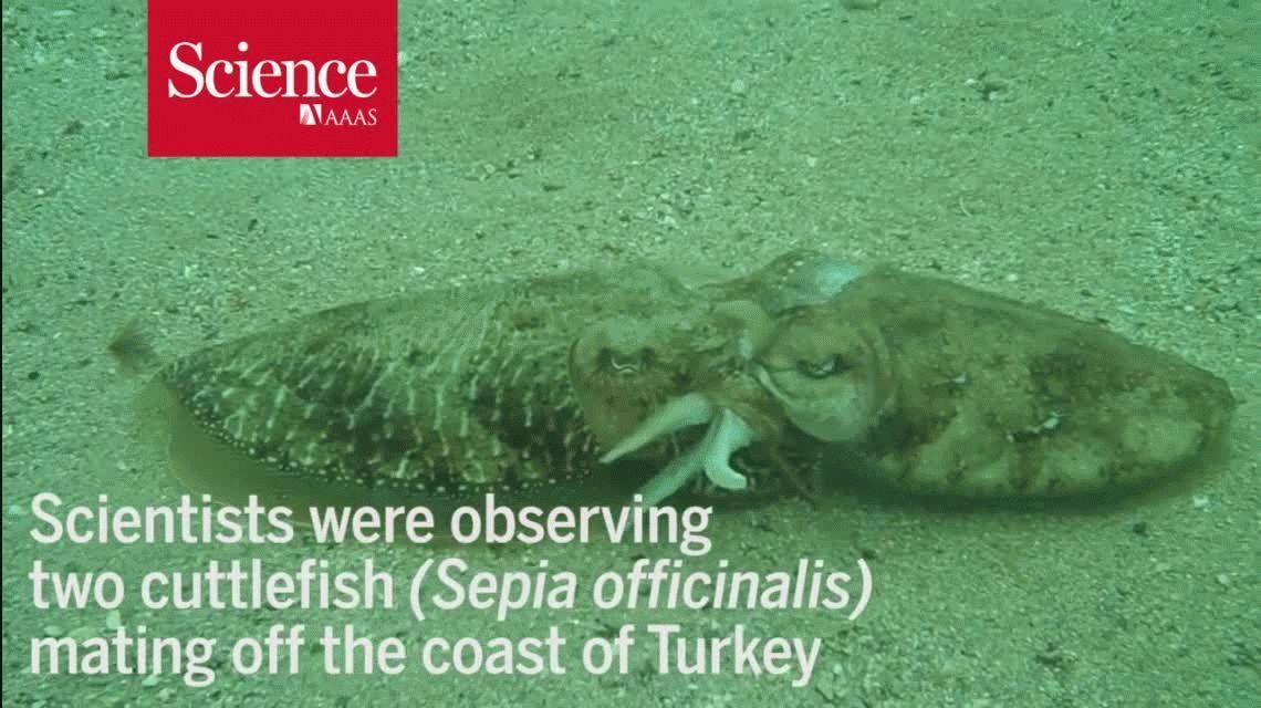 VIDEO: La dura pelea entre dos moluscos por una hembra