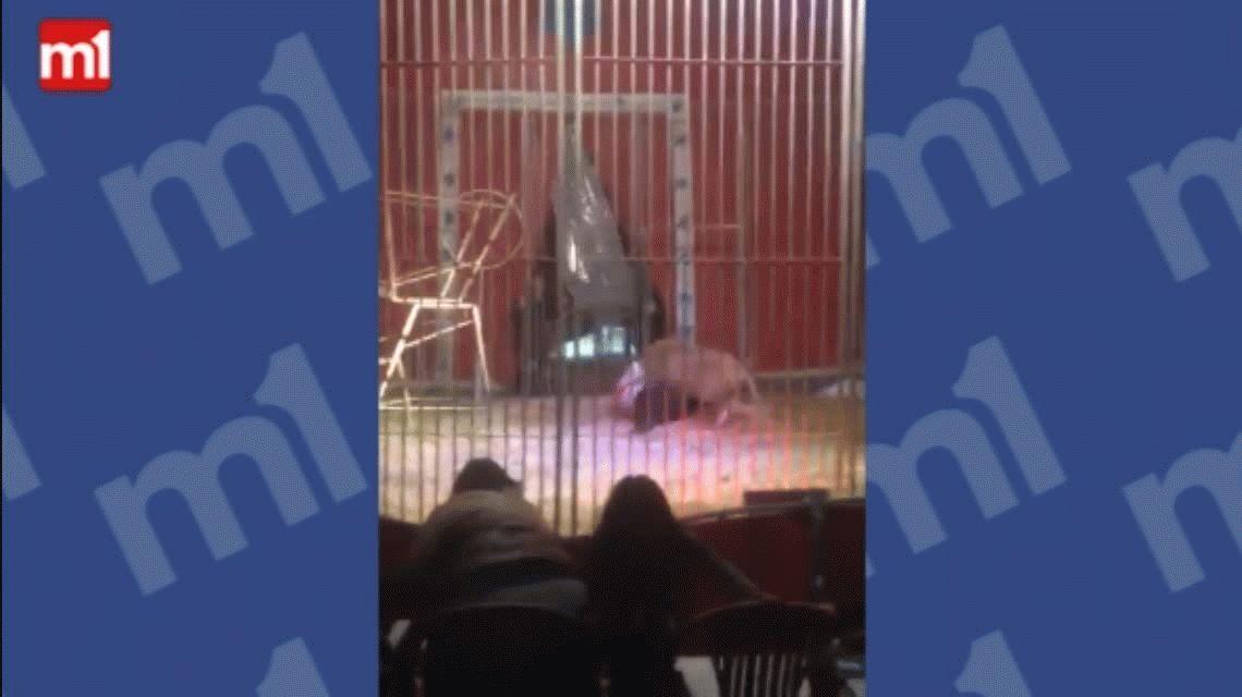 VIDEO: Así atacó un león a un domador en un circo de Francia