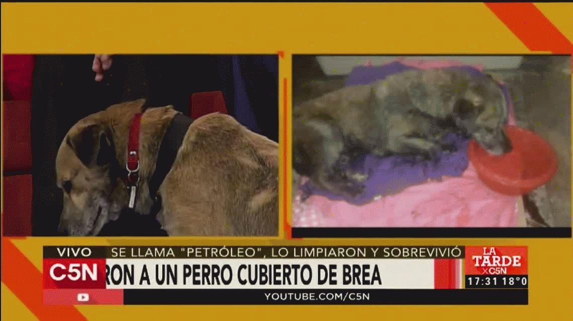 VIDEO: Así está Petróleo, el perro que fue sobrevivió luego de ser bañado con brea