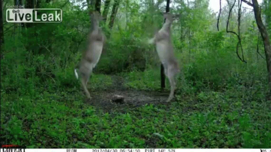 VIDEO: Dos ciervos se pelean en el medio del bosque