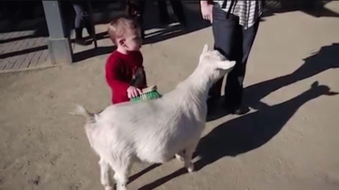 VIDEO: Un nene acariciaba una cabra y terminó huyendo despavorido